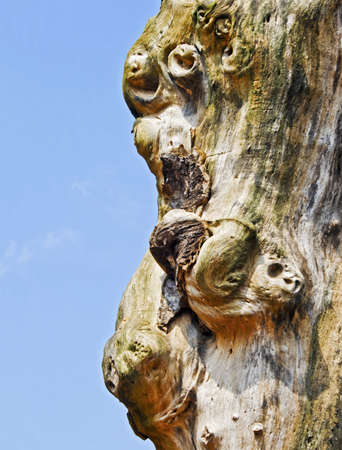 Natures gift, faces in a tree without any bark, central is what appears to be a monkey  Location of shot was Madhya Pradesh, India