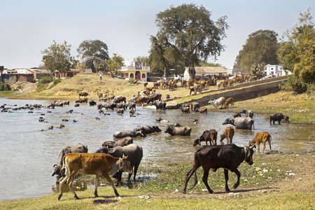 Landscape taken in a Gujarat village in rural countryside of India of cattle coming to water and bathe, cool down from the baking hot sun Stock Photo - 18278676