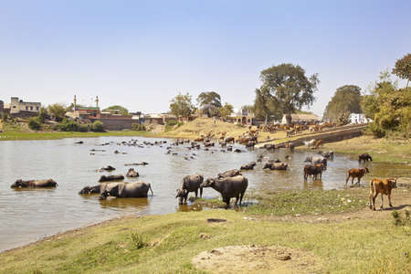 Landscape taken in a Gujarat village in rural countryside of India of cattle coming to water and bathe, cool down from the baking hot sun watched by their herdsman Stock Photo - 18278670