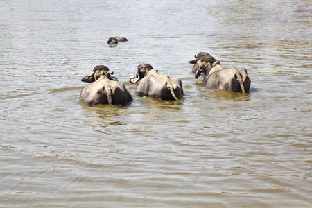 cool down: Landscape taken in a Gujarat village in rural countryside of India of cattle coming to water and bathe, cool down from the baking hot sun watched by their herdsman