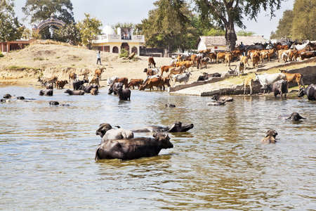 Landscape taken in a Gujarat village in rural countryside of India of cattle coming to water and bathe, cool down from the baking hot sun watched by their herdsman who is rounding them up milking time Stock Photo - 18278674