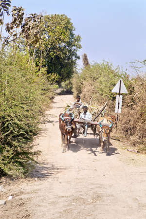 bullock: Farm workers riding on a bullock cart transporting their produce along a dirt track lined with bushes and trees to the markets through the countryside on March 1st, 2013 in Gujarat, India