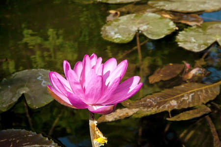 Horizon color capture of Pink Water lily blooming in the bright tropical sun in a pond  Shot location of this flora was Bombay, India