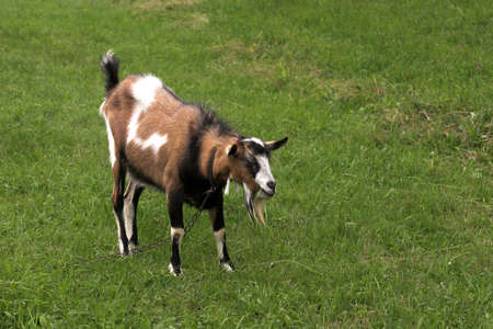 goat herding in the meadow Stock Photo - 16440150
