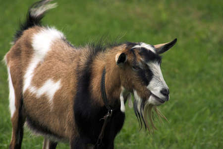 goat herding in the meadow Stock Photo - 16440146