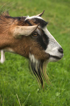 goat herding in the meadow Stock Photo - 16440149