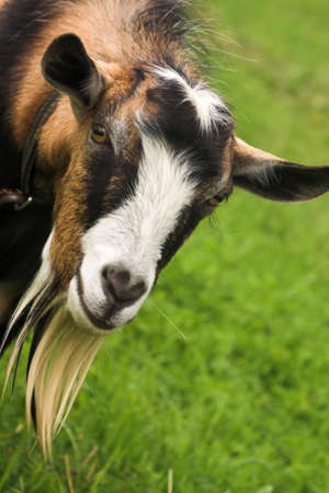 goat herding in the meadow Stock Photo - 16440147