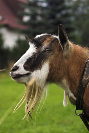 goat herding in the meadow Stock Photo - 16440148