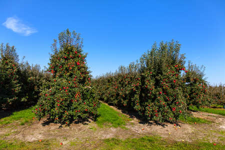 riped: Apple orchard full of riped red apples.
