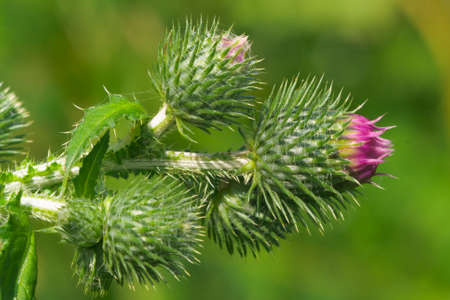 bracts: closeup burgeons of thistle (carduus) just before blooming