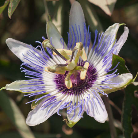 passionflower: passionflower in Turkey