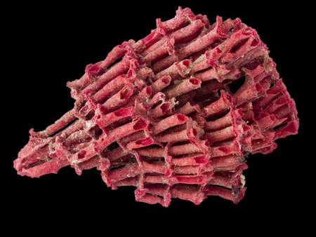 polyp corals: red coral ob black background closeup