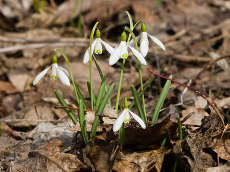 snowdrops in early spring closeup, shallow DOF photo