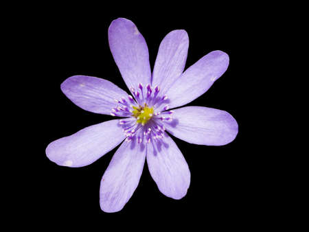 Liverleaf (hepatica nobilis) isolated on black photo
