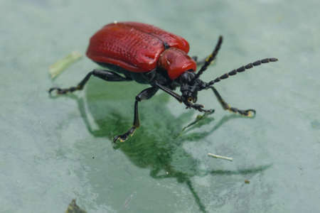 neighborly: scarlett lily beetle macro on a glass table with reflection, shallow-dof, selective focus