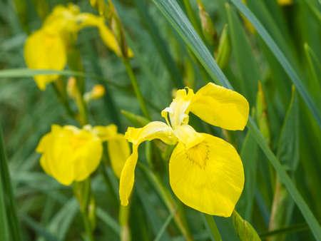 iris: Yellow flag iris pseudacorous macro selective focus, shallow dof