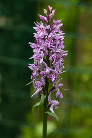 incarnate: Inflorescence Dactylorhiza maculata, Heath Spotted Orchid macro, selective focus, shallow DOF