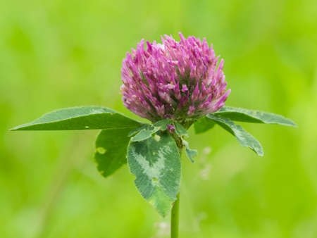 red clover: flower of red clover on blurred green macro, selective focus, shallow DOF