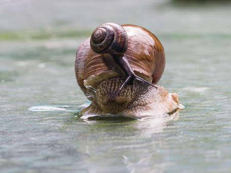land slide: Helix pomatia edible snail with fruticicola fruticum on shell macro, selective focus