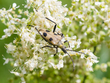 longhorn beetle: spotted longhorn beetle on a blooming meadowsweet macro, selective focus, shallow DOF