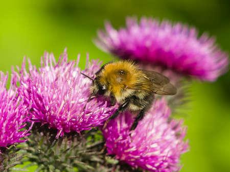 Biene auf Scotch Distel Blume Makro, selektiven Fokus Standard-Bild - 43275249