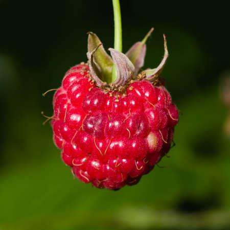 brambleberry: Ripe wild raspberry on a branch macro, selective focus, shallow DOF