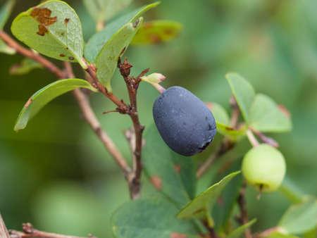 bilberry: ripe bog bilberry on a bush macro, selective focus Stock Photo