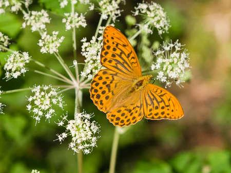 草、選択と集中、浅い被写し界深度のオレンジと黒の蝶マクロ 写真素材