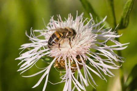 bluet: Honey bee on white knapweed flower, macro, selective focus, shallow DOF