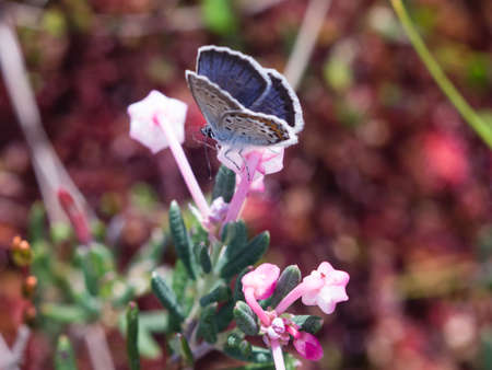 lycaenidae: Blue butterfly of lycaenidae family sitting on andromeda flower macro, selective focus