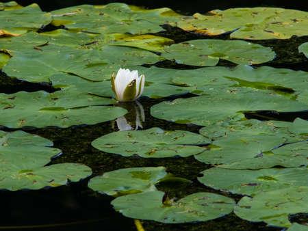nenuphar: Nymphaea alba, also known as the European White Waterlily, White Lotus, White Water Rose or Nenuphar, bud macro, selective focus Stock Photo