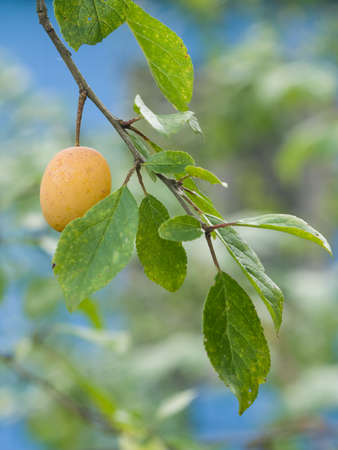 alycha: ripe yellow plum on branch with leaves, selective focus
