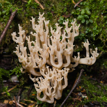selective focus: fungus ramaria, poisonous mushroom, macro, selective focus
