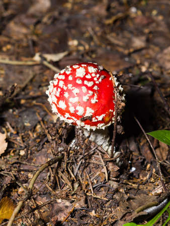 mortally: Amanita poisonous mushroom in nature fly-agaric, macro, selective focus