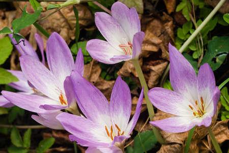 colchicum autumnale: Blooming colchicum autumnale, autumn crocus, in fallen leaves, selective focus