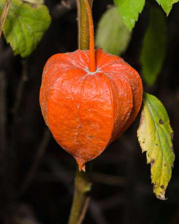 alkekengi: Physalis alkekengi, Chinese lanterns, autumn macro, selective focus