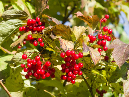 guelder: Red berries of a Guelder rose or Viburnum opulus, selective focus