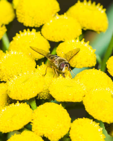 syrphidae: Hoverfly on blooming common tansy, macro, selective focus