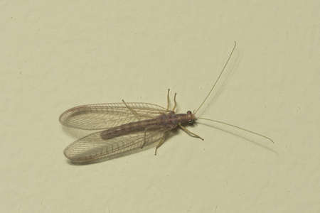 lacewing: Brown-red neuroptera or lacewing macro on a plaster wall, selective focus