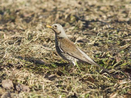turdus: Fieldfare, turdus pilaris, on the dry grass, selective focus