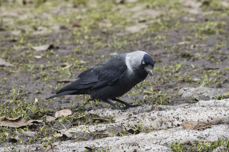 coloeus: Jackdaw bird, Corvus monedula, on ground portrait, selective focus, shallow DOF.