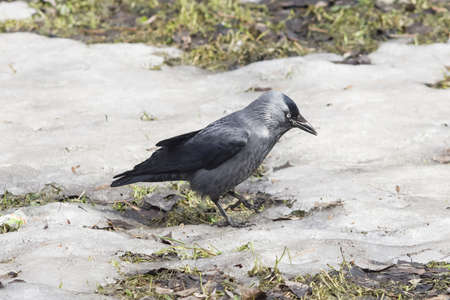 coloeus: Jackdaw bird, Corvus monedula, on ground with ice, selective focus, shallow DOF.