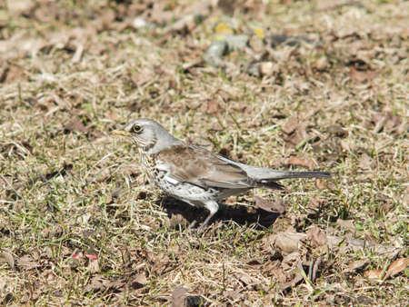 turdus: Fieldfare, turdus pilaris, in dry grass, selective focus, shallow DOF Stock Photo