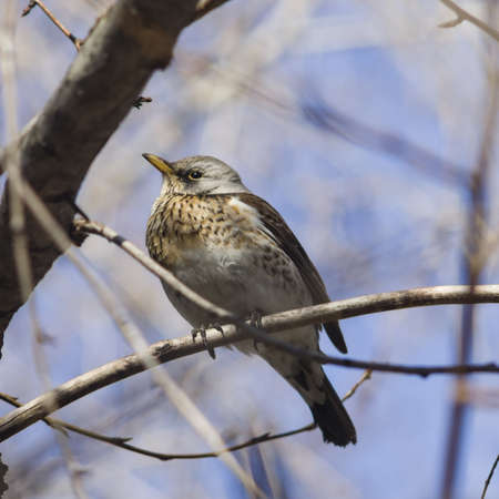 sulight: Fieldfare, Turdus pilaris, portrait in branches on sunny day, selective focus, shallow DOF