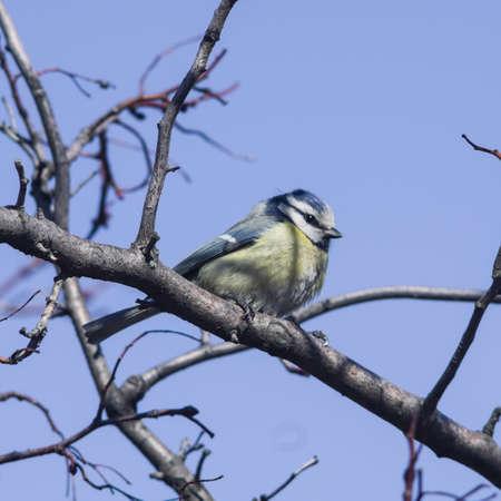 cyanistes: Eurasian blue tit, Cyanistes caeruleus, sitting in branches, closeup portrait, selective focus, shallow DOF