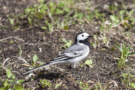 motacilla: White wagtail, Motacilla alba, close-up portrait on ground with spring grass, selective focus, shallow DOF