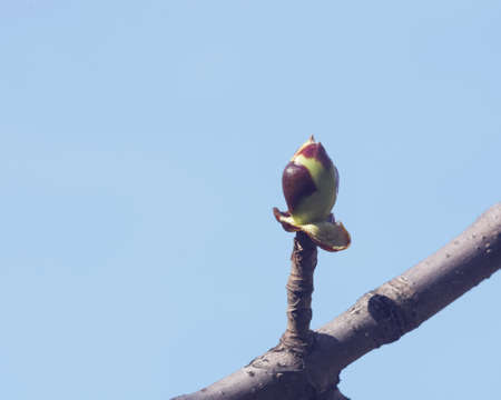 Horse-chestnut, aesculus hippocastanum, bud on branch with blue background macro, selective focus, shallow DOF Stock Photo