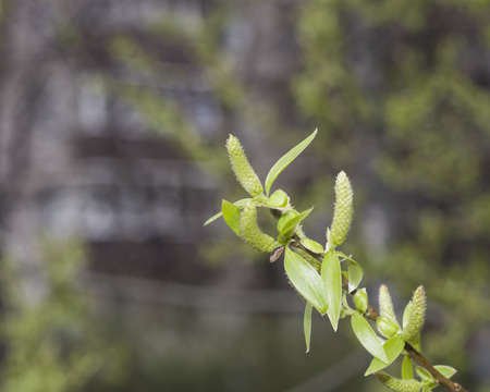 crack willow: Brittle willow, Salix fragilis, blossom in spring with bokeh background, selective focus, shallow DOF