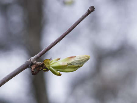 germ free: Horse-chestnut, aesculus hippocastanum, bud on branch with bokeh background macro, selective focus, shallow DOF