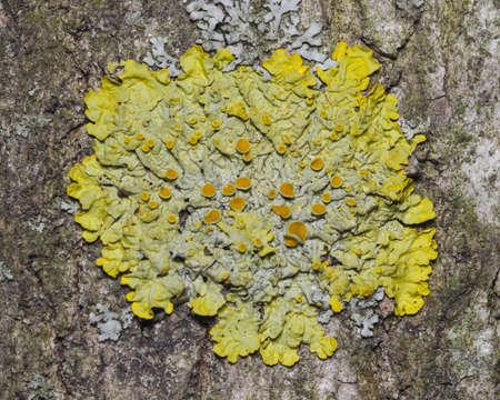aspen tree: Lichen Xanthoria parientina on aspen tree bark macro, selective focus